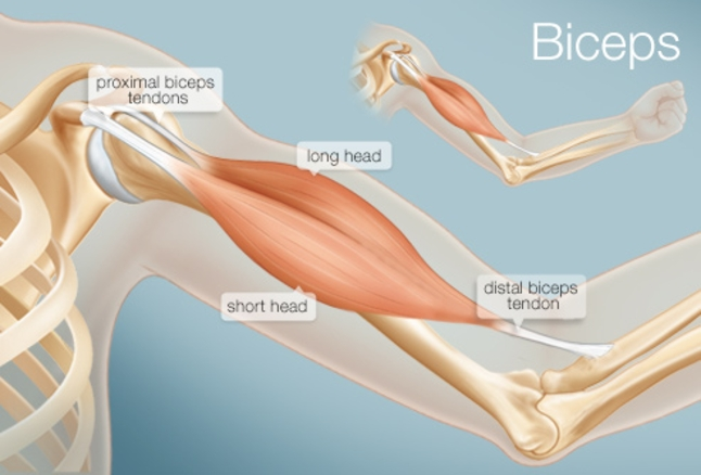 diagram of the shoulder and bicep showing muscles