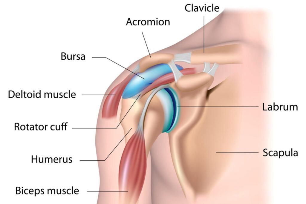 diagram of shoulder